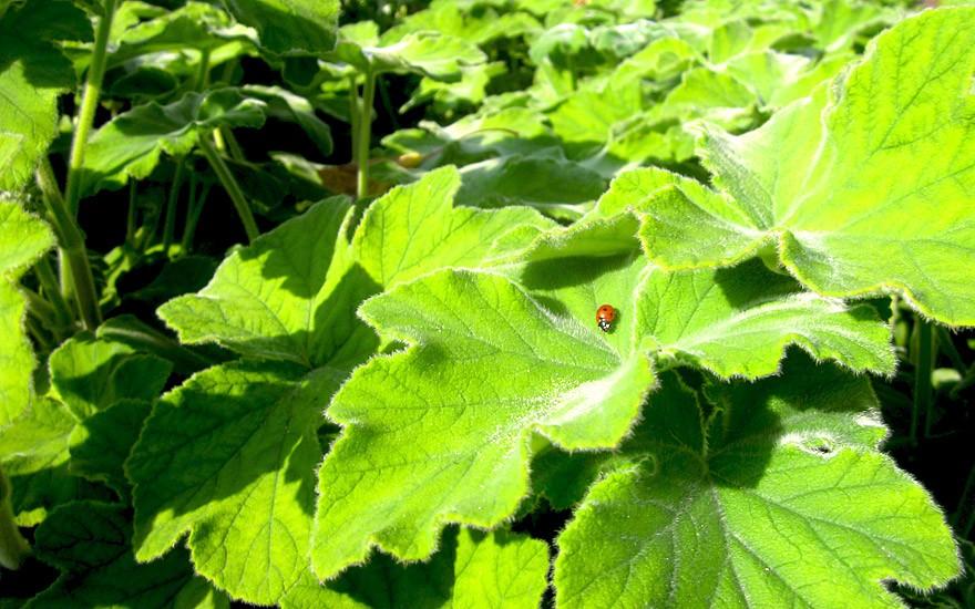 Pfefferminzgeranie (Pflanze)