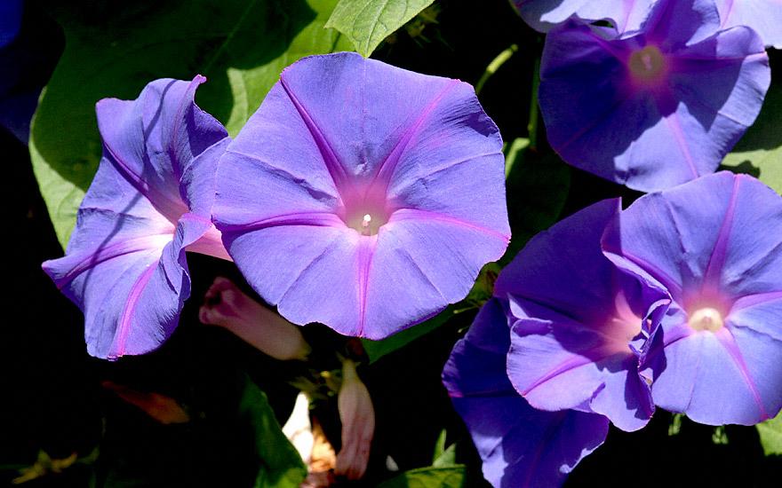 Trichterwinde, ausdauernd (Pflanze)