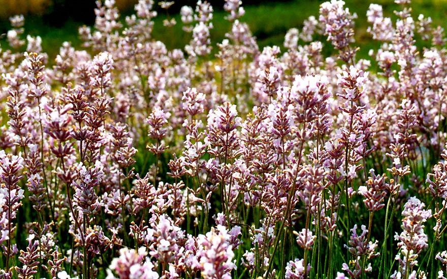 Lavendel, rosa blühend (Pflanze)