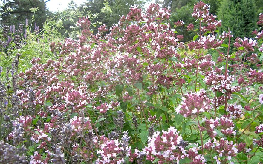 Dost (Wilder Majoran) (Pflanze)