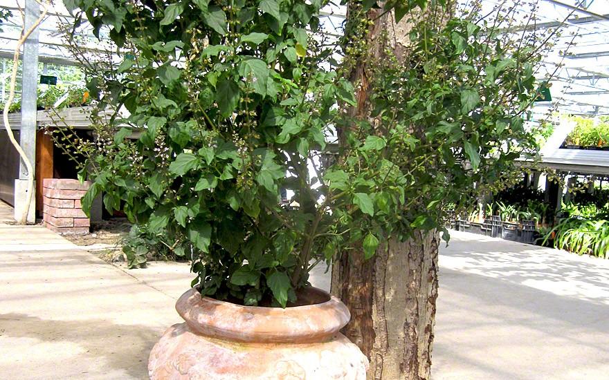 Madeira-Basilikum (Pflanze)