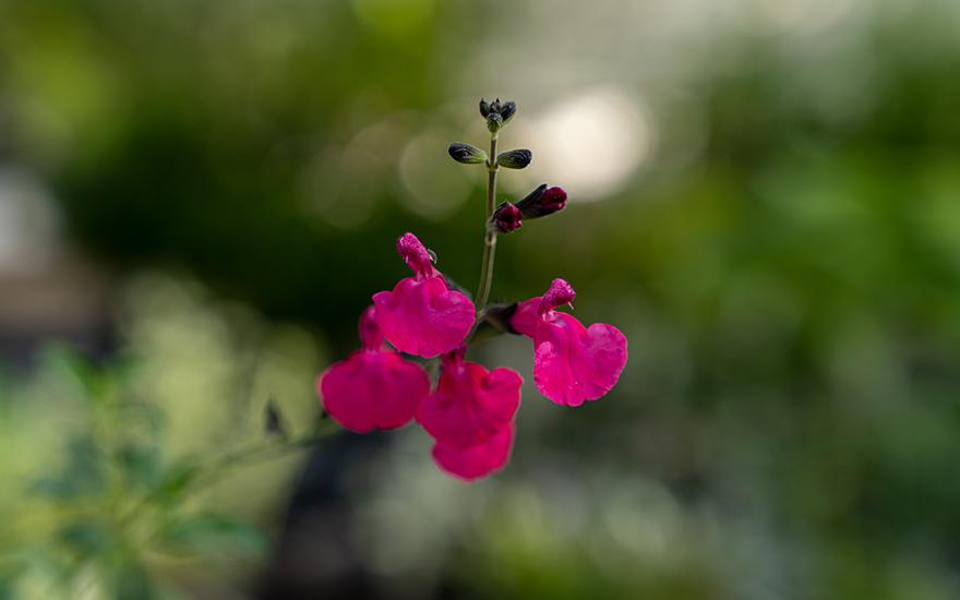 Johannisbeersalbei (Pflanze)