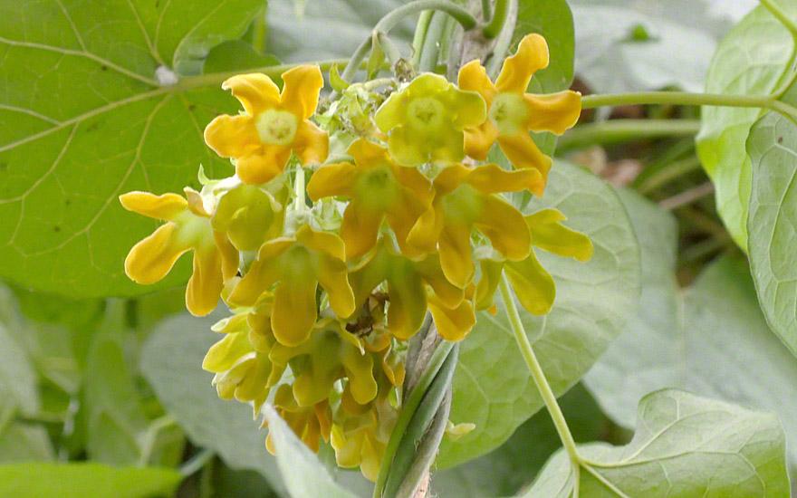 pakalana pflanze telosma cordata essbare bl ten essbare pflanzen nach verwendung. Black Bedroom Furniture Sets. Home Design Ideas