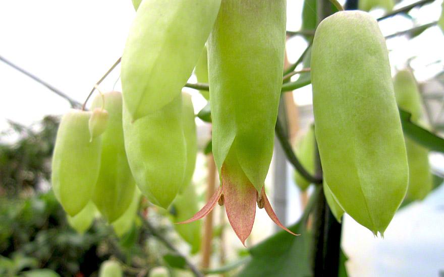 Wunderblatt, Goethe-Pflanze (Pflanze)