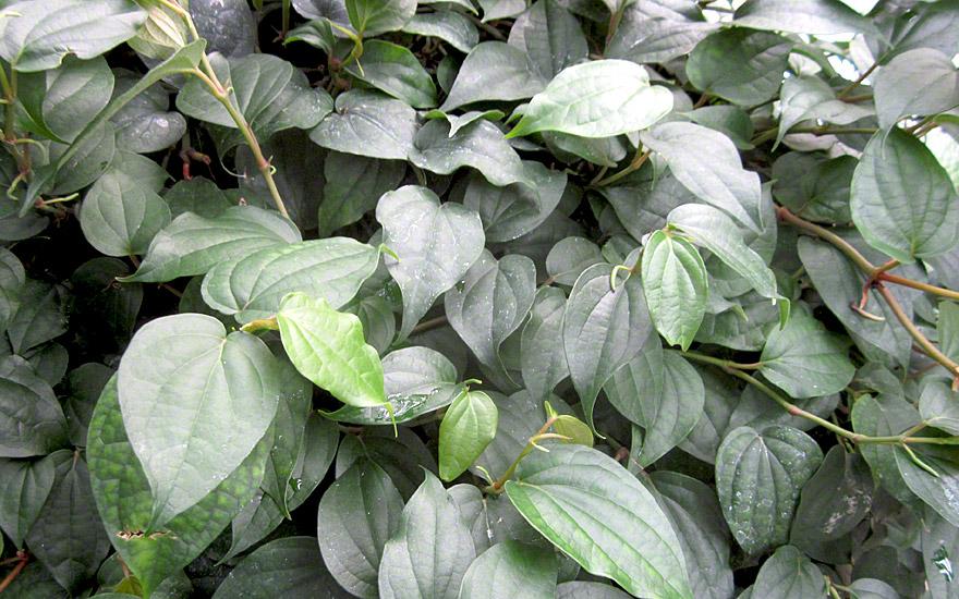 Schwarzer Pfeffer (Pflanze)