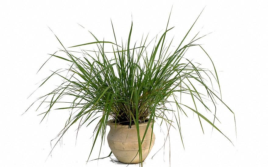 Zitronellagras (Pflanze)