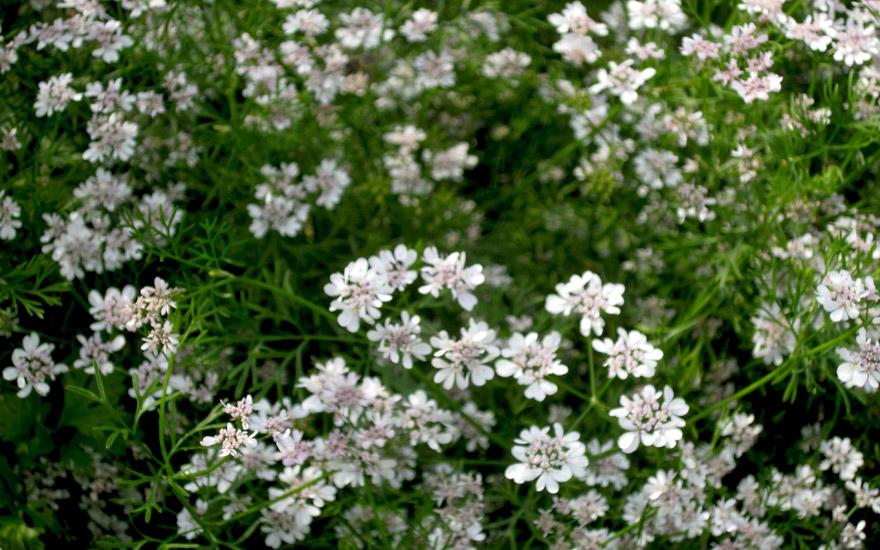 Koriander 39 th ringer 39 saatgut coriandrum sativum cv for Koriander pflanzen