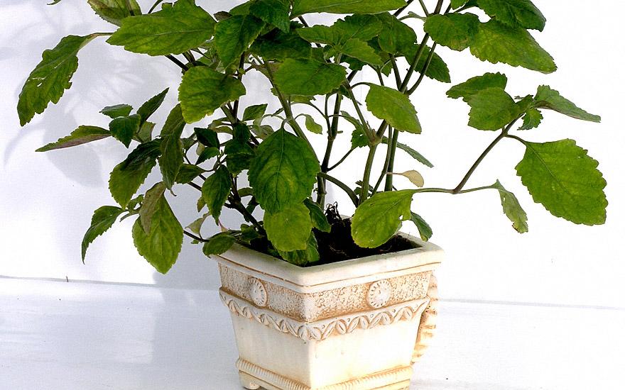 Als Topfpflanze