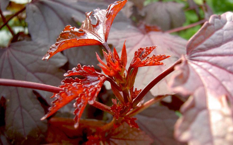 Roter Hibiskus (Saatgut)