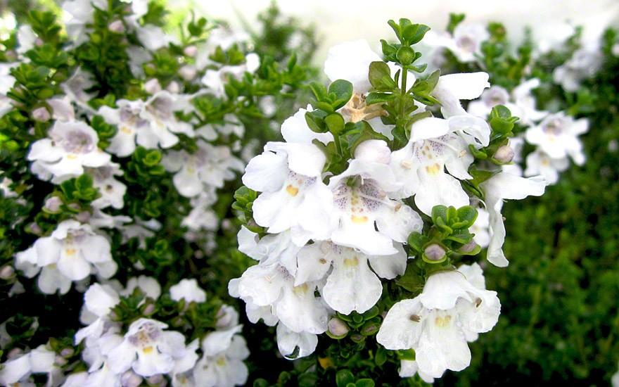 Tasmanischer Minzestrauch (Pflanze)