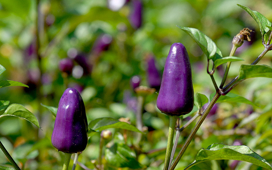 chili 39 ecuador purple 39 pflanze capsicum species gew rzpaprika chili gagelstrauch. Black Bedroom Furniture Sets. Home Design Ideas