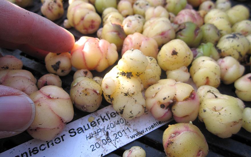 Peruanischer Sauerklee (Oca) (Pflanze)