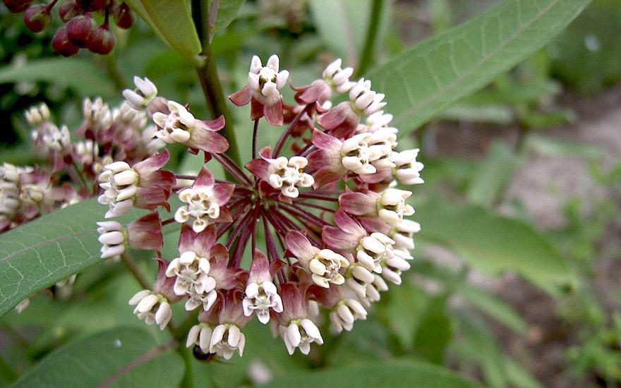 Echte Seidenpflanze (Pflanze)