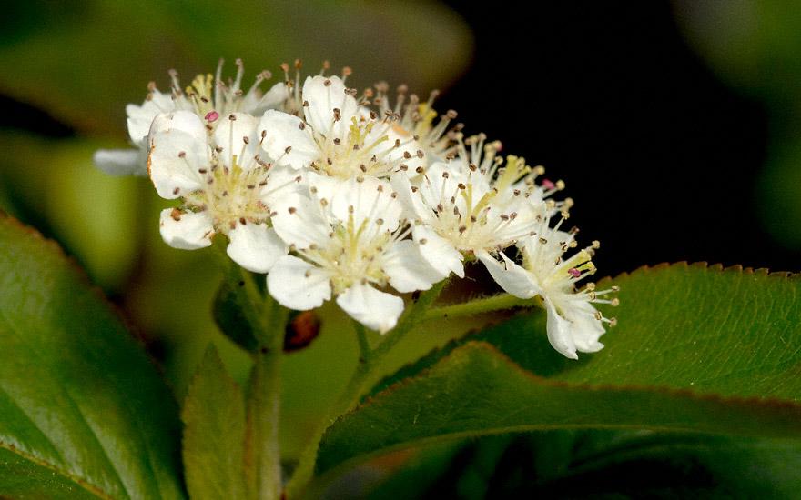 Aroniabeere (Pflanze)