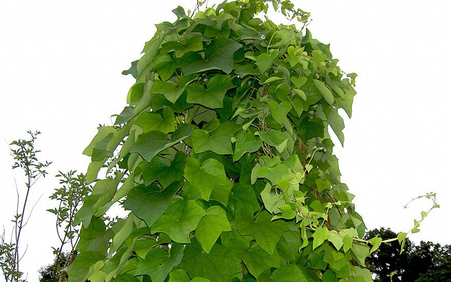 Kanadischer Mondsame (Pflanze)