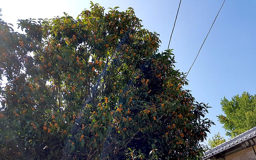 Japanische Duftblüte (Pflanze)