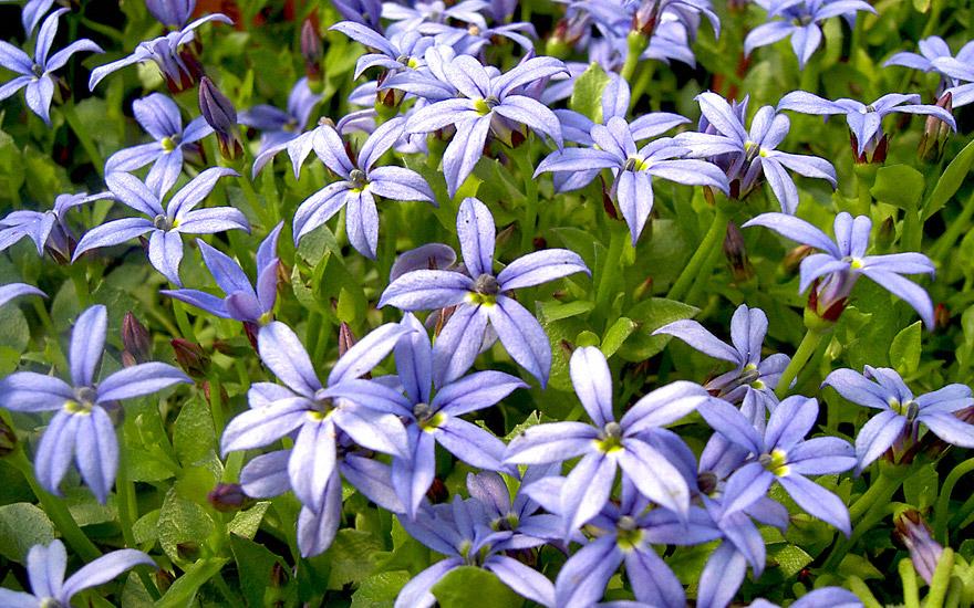 gaudich blau bl hend pflanze isotoma fluviatilis gaudich duftpflanzen r hlemann 39 s. Black Bedroom Furniture Sets. Home Design Ideas