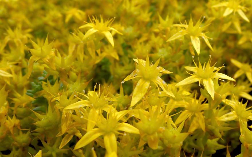 Mauerpfeffer, scharfer (Pflanze)