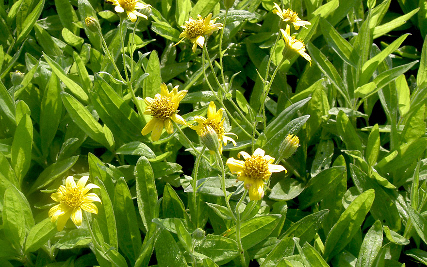 Arnika (Pflanze)