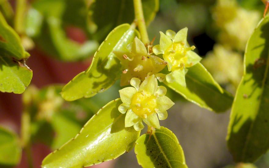 Chinesische Jujube (Pflanze)