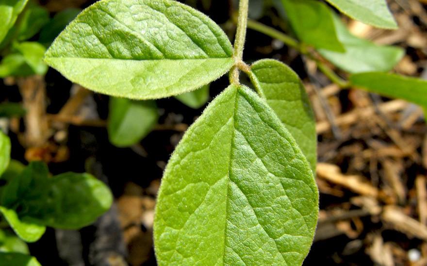 Chinesisches Süßholz (Saatgut)