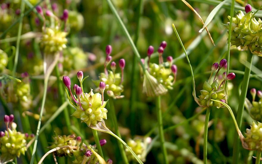 Kanadischer Wildlauch (Pflanze)