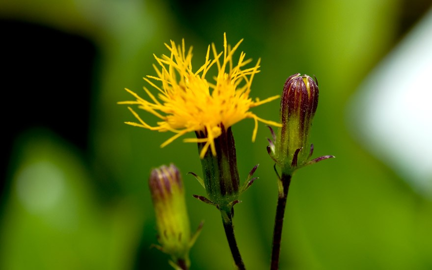 Sambung Nyawa (Pflanze)