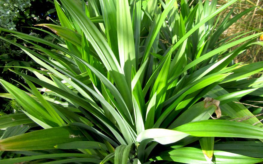 Pandan Palme Pflanze P Einzelsorten Papaya Prachtscharte