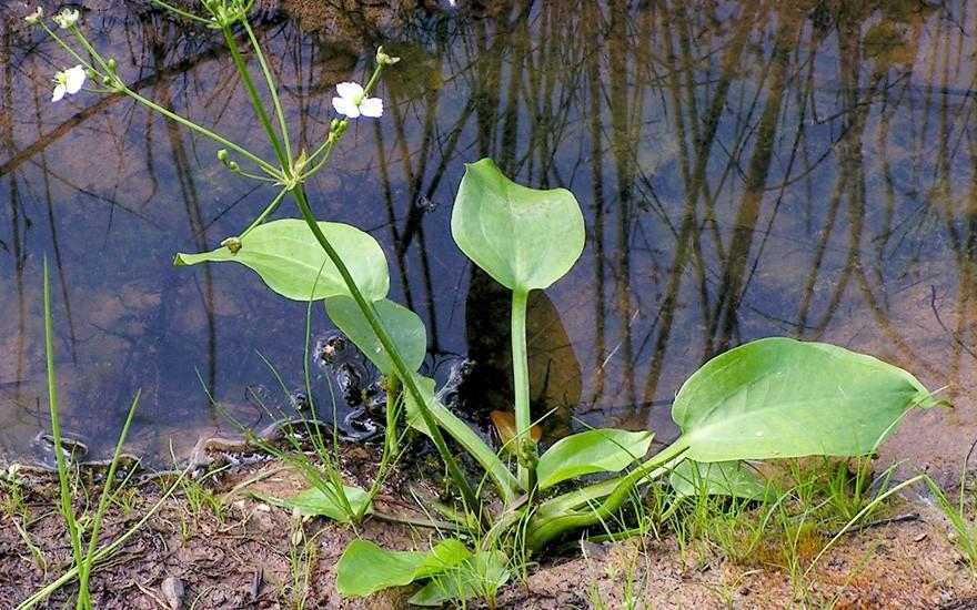 Gemeiner Froschlöffel (Saatgut)