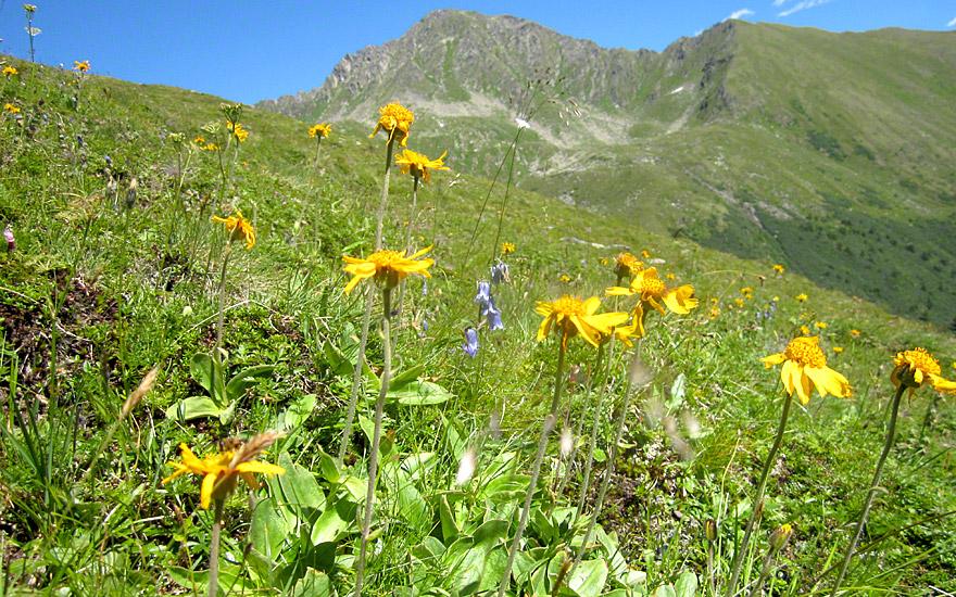 Berg-Arnika (Pflanze)