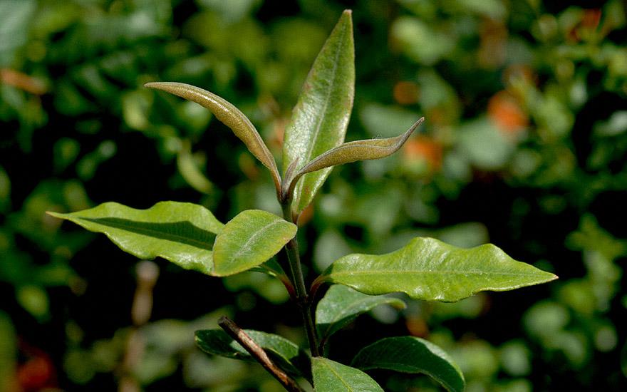 Zitronenmyrte, australisch (Pflanze)