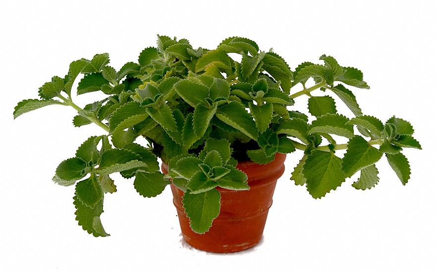 Jamaicathymian, grün (Pflanze)