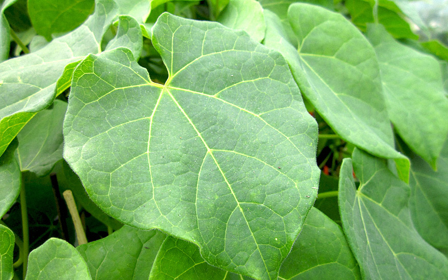 Guduchi Pflanze