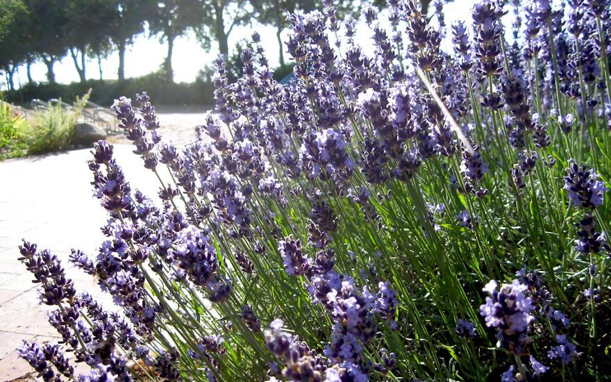"""Lavendel """"Bleue Velours Paul"""" (Pflanze)"""