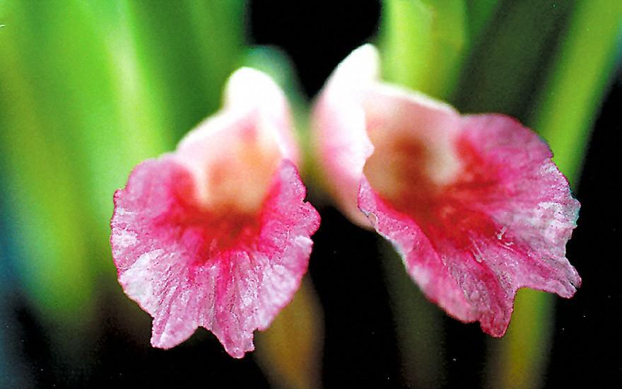 Kra-Chai (Pflanze)