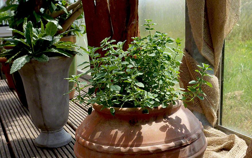 Kretischer Oregano (Pflanze)