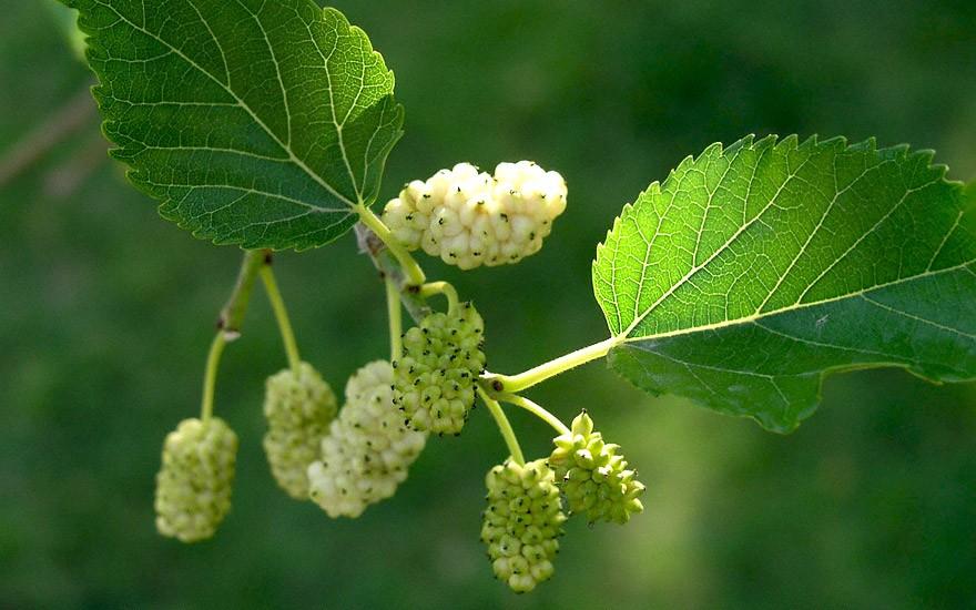 Weißer Maulbeerbaum (Pflanze)