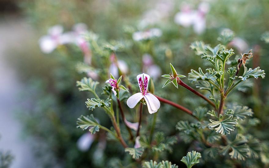 Weihrauch-Duftgeranie (Pflanze)