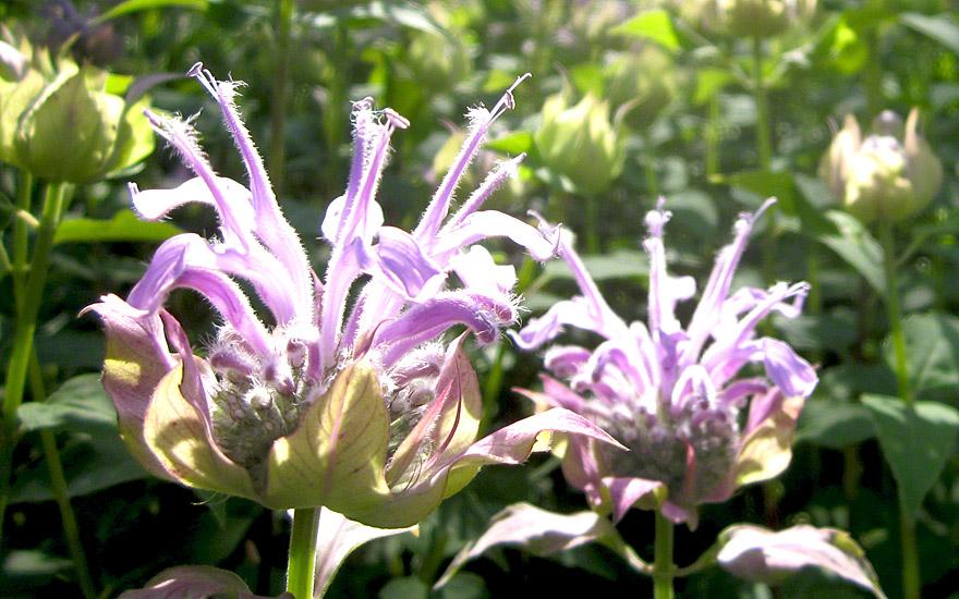 Oswegokraut (Pflanze)