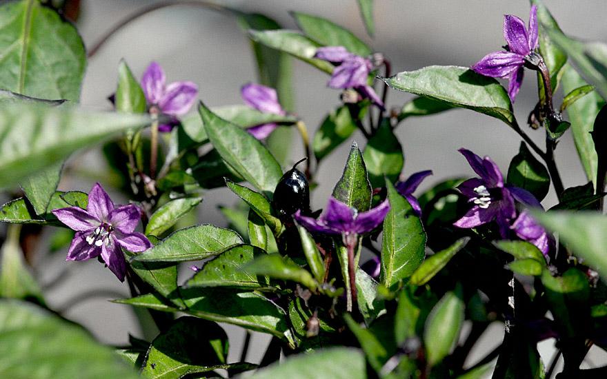 chili 39 peruvian purple 39 pflanze capsicum frutescens gew rzpaprika chili gagelstrauch. Black Bedroom Furniture Sets. Home Design Ideas