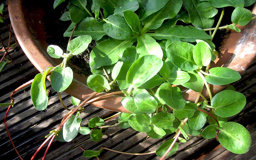 Yerba Mansa (Pflanze)