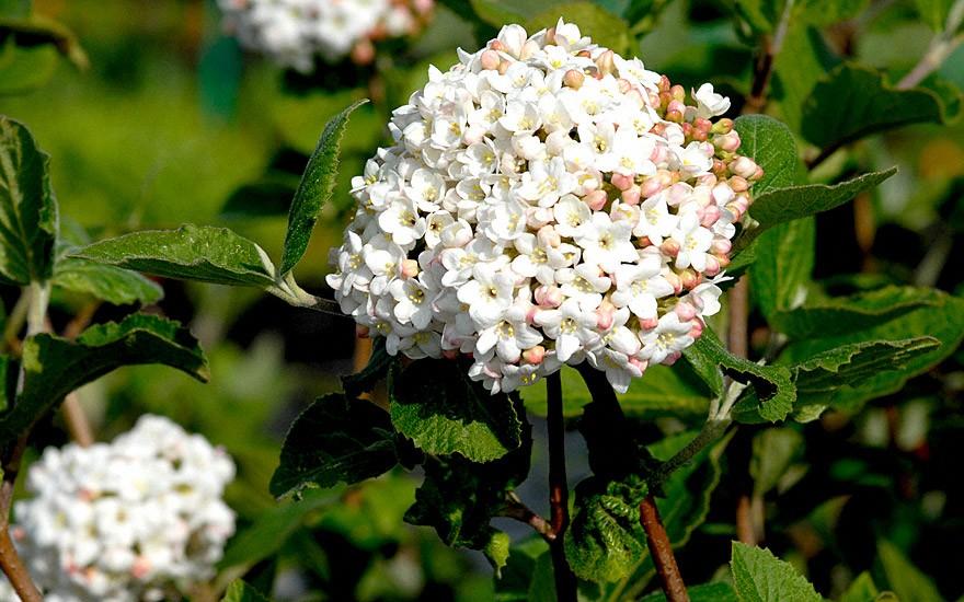 Großblumiger Duftschneeball (Pflanze)