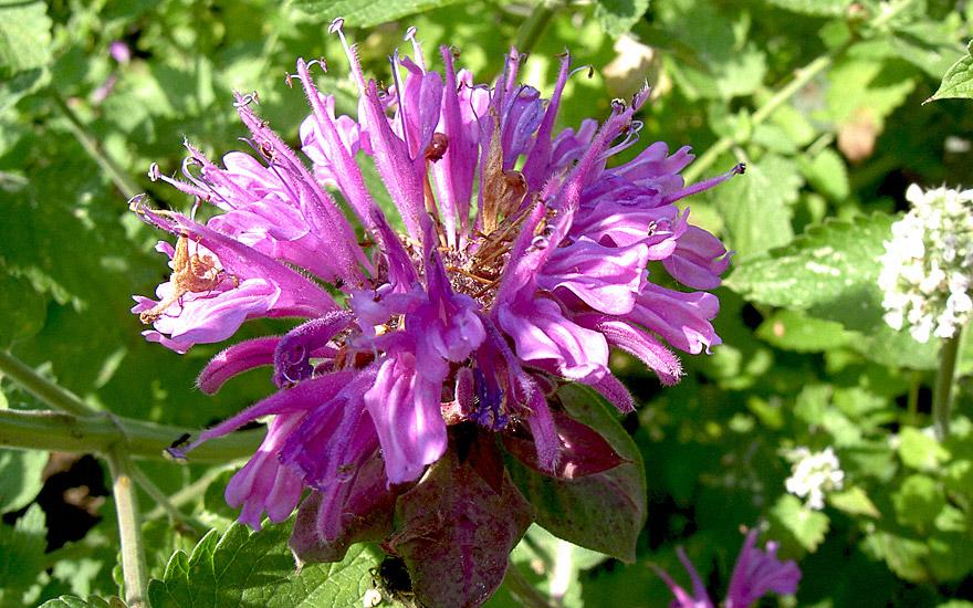 Rosenmelisse (Pflanze)