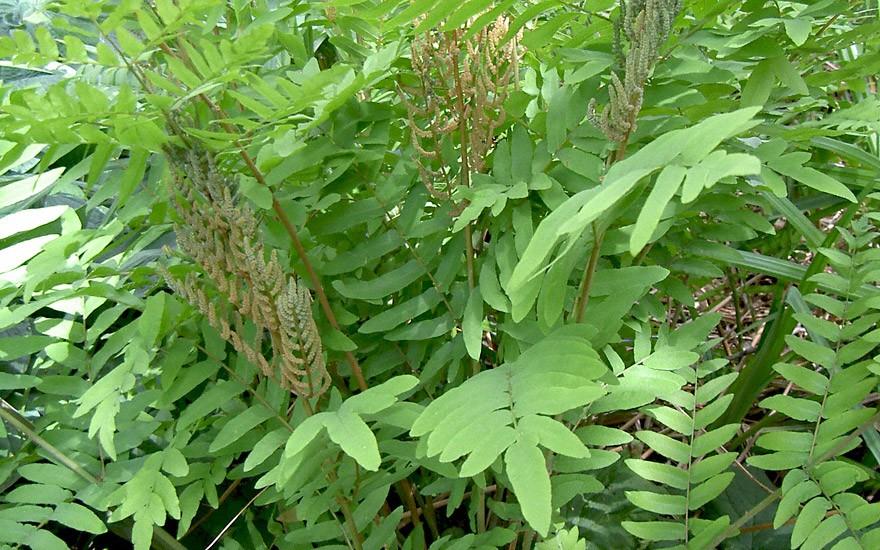 Königsfarn (Pflanze)