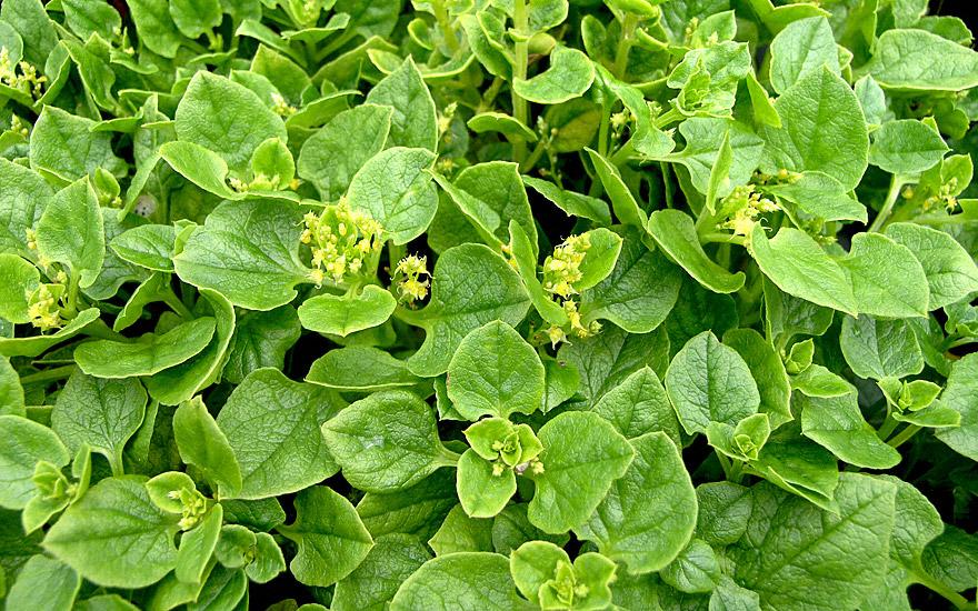 Melloco (Pflanze)