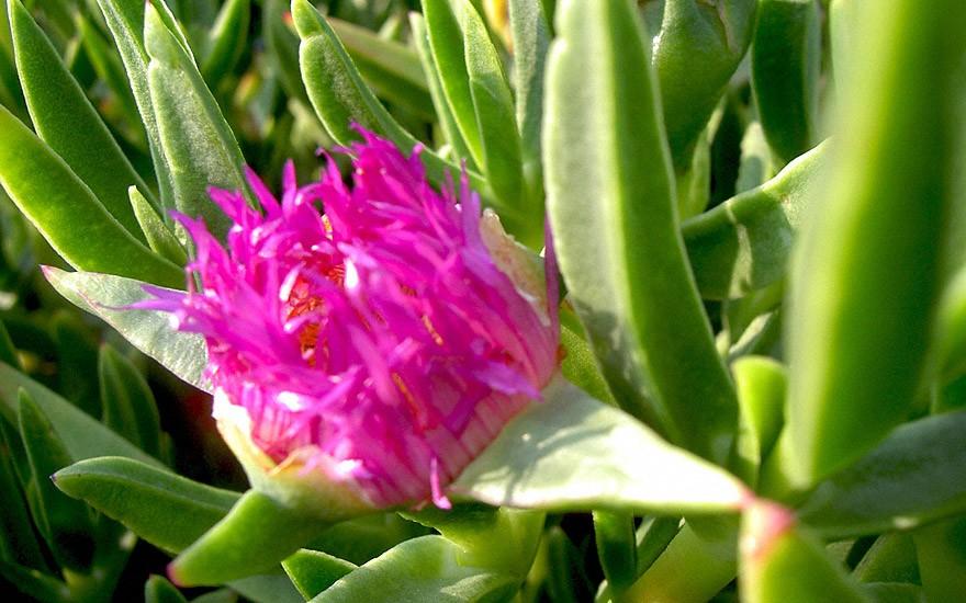 Hexenfinger (Pflanze)