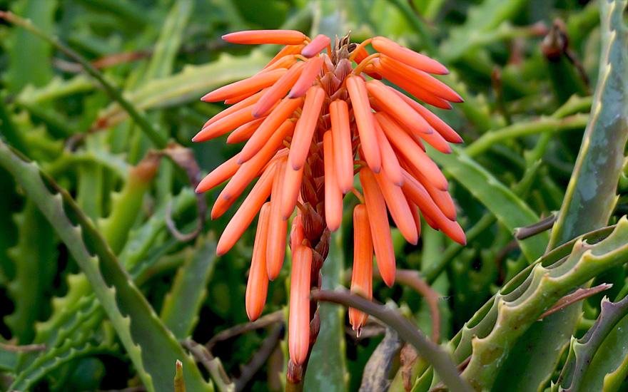 Baum-Aloe (Pflanze)