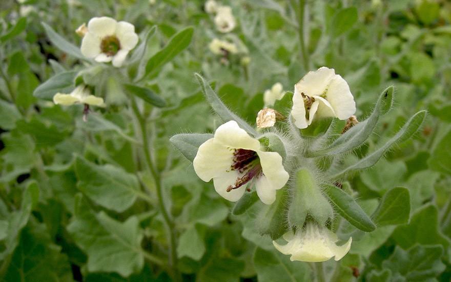 Weißes Bilsenkraut (Pflanze)