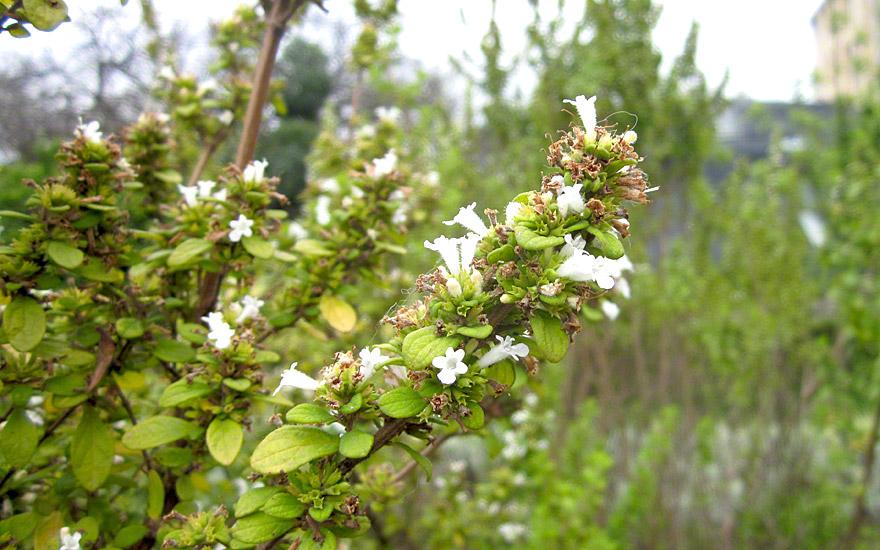 Jamaica-Minzestrauch (Pflanze)