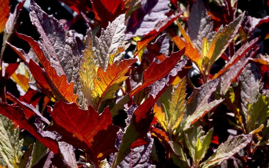 Rote Epazote (Pflanze)